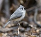 Thumbnail Tufted Titmouse Bird Caller.mp3