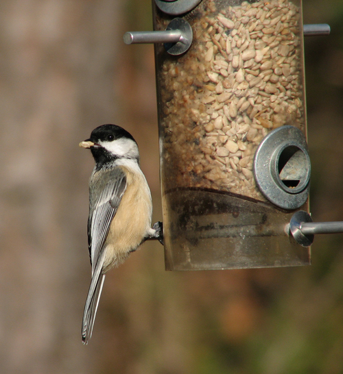 Product picture Black Capped Chickadee Bird Caller.mp3