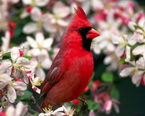 Product picture Cardinal Bird Caller.mp3