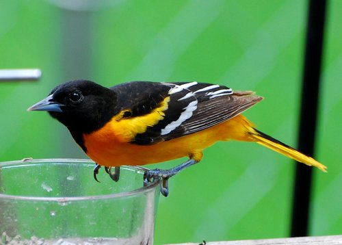 Product picture Oriole Bird Caller.mp3