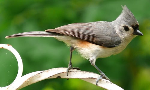 Product picture Tufted Titmouse Bird Caller.mp3